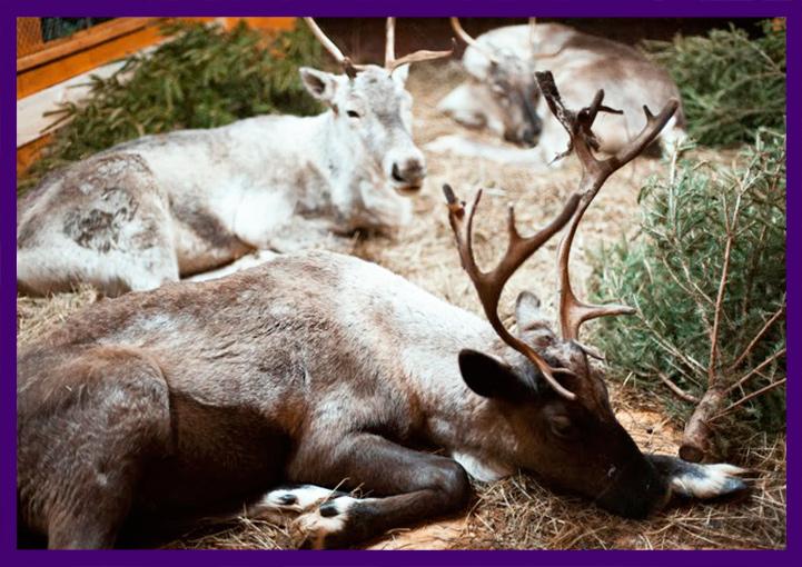Живой уголок с оленями на рождественской ярмарке